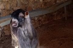 Goat-without-ears-in-Battir