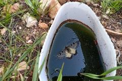 butterfly-in-water