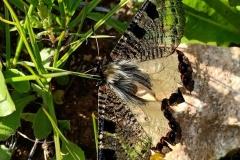 butterfly-open-wings
